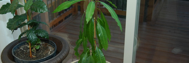 How to grow a mango from seed